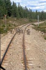Rentiere auf den Gleisen